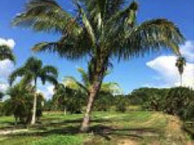 Jamaican Malayan Coconut