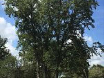 Ranch Oak 40 ft