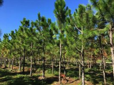 South FL Slash Densa Pine