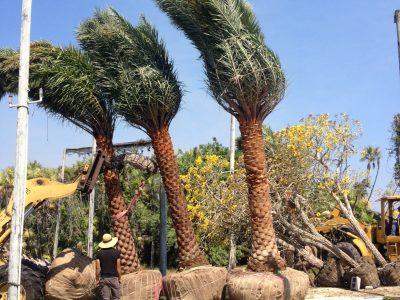 Wild Date Sylvestris Palm